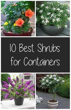 10 Best Shrubs for Containers