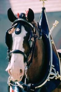 A Budweiser Clydesdale wears a 130-pound collar while hitched to one of the…