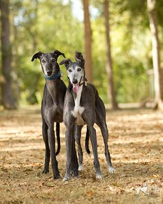 Pair of black greyhounds by greygirl25, via Flickr