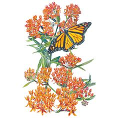 Grow beautiful Milkweed and help save the Monarch butterfly, whose caterpillars rely solely on Milkweed for nourishment. We carry several varieties, perfect for your garden. Home Flowers, All Flowers, Orange Flowers, Butterfly Weed, Butterfly Plants, Monarch Butterfly, Butterflies, Organic Seeds, Organic Plants