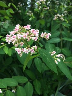 Flowering Dogbane Plants In The Garden : Growing Dogbane Outdoor Plants