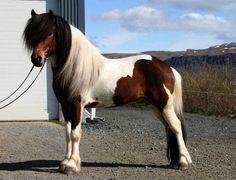 Icelandic Horse stallion Djarfur frá Reykjavík