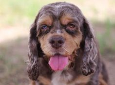Petango.com – Meet Annie, a 5 years 9 months Spaniel, American Cocker available for adoption in COLORADO SPRINGS, CO