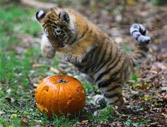 (tiger cub) - That pumpkin is going TO DIE!!!!!!