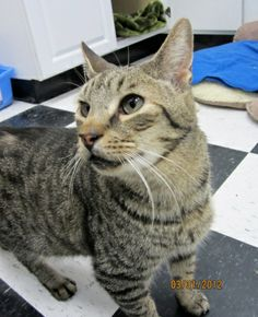 Meet Robert a Petfinder adoptable Tabby - Grey Cat | Lambertville, NJ | NOTE: Photo #3 is of Robert & his friend Tig. Animal Alliance is running a special, if you adopt...