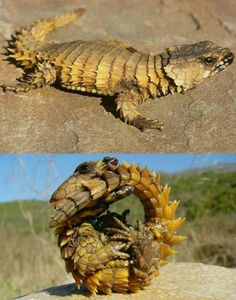 Armadillo girdled lizard The armadillo girdled lizard (Cordylus cataphractus), or simply armadillo lizard is a species of lizard naturally endemic to desserts of southern Africa. It is a lizard with light brown to. Animals And Pets, Funny Animals, Cute Animals, Armadillo Lizard, Cute Lizard, Fantasy Dragon, Reptiles And Amphibians, Chameleons, Lizards