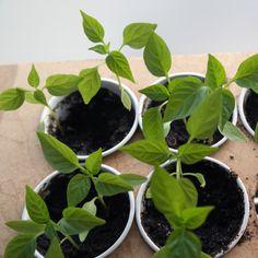 zelf pepers paprika planten zaaien  (en hele interessante site ook!!)