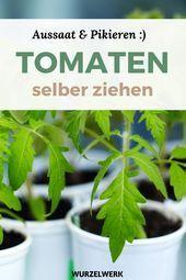 Starke Tomaten ziehen und selbst stechen!   - Gemüse anbauen - #anbauen #Gemüse #selbst #Starke #stechen #Tomaten #und #ziehen