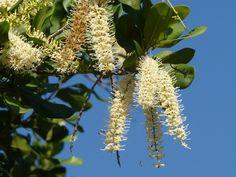 Macadamia Noix du Queensland fleurs