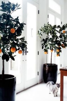 Calamondin Orange Tree. A hard to kill indoor possible plant with edible fruit!