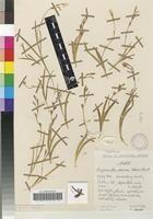 Hesperantha alborosea