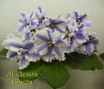 Пасынок, февраль 2016 - Пример цветения из Сети (растение Елены Каньковой, которая получила этот спортик)