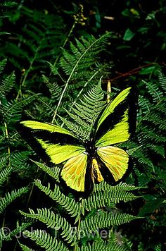 Birdwing butterfly what a beauty