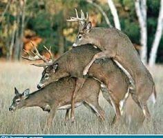 Bi-Deer Threesome - Rude but Funny Redneck Humor, Funny Animal Pictures, Funny Animals, Cute Animals, Awkward Animals, Animal Pics, Funny Shit, Freaking Hilarious, Sneak Attack