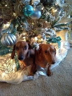 Christmas Dachshund, Bow Wow, David Cassidy, Animal 2, Dachshund Love, Cutest Animals, Alba, Weiner Dogs, Beautiful Christmas