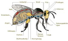 anatomy of a worker bee Bee Facts, Types Of Bees, Raising Bees, Worker Bee, I Love Bees, Bee Photo, Bees And Wasps, Busy Bee, Save The Bees