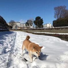また明後日は、東京も行き予報。 前回までとは言わないけど、また、雪のお散歩行けるかな??☆彡 #愛犬 #犬 #柴犬 #しばいぬ #柴犬部 #しばいぬ部 #日本犬 #日本犬保存会 #雪 #雪景色 #お散歩 #お散歩日和 #野川 #dog #dogstagram #doglovers #dogsofig #dogsofinstagram #shibainu #shibadog #shiba #shibastagram #shibalovers #snow #snowdog #takeawalk #snowylandscape
