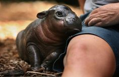 Hippos are so damn cute!
