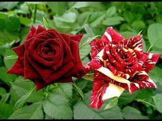 Las 10 flores más hermosas del mundo - YouTube