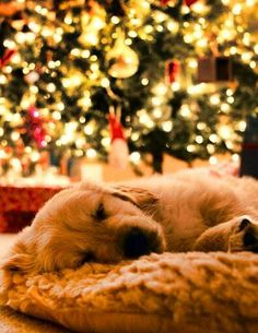 Golden retriever at Christmas