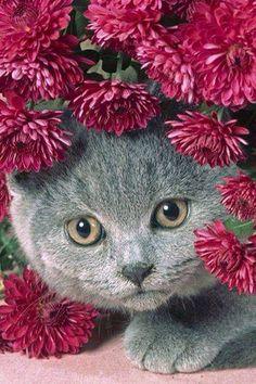 Pretty in pink Smokey Gray Cat