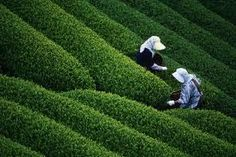 Another beautiful East Indian state, Assam, popular for its tea. Tea Gardens in Assam.