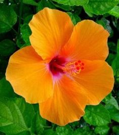 500pcs/bag Hibiscus Flower Seeds,