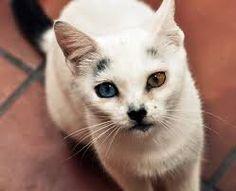 """Résultat de recherche d'images pour """"chat yeux multicolores"""""""