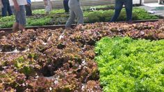 Leafy greens (lettuce) in deep water culture (DWC) raft ponds at Ouroboros Aquaponic Farm in Half Moon Bay, ca