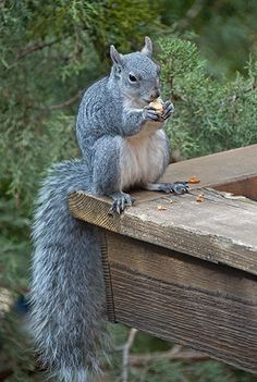 Gray squirrels are so pretty