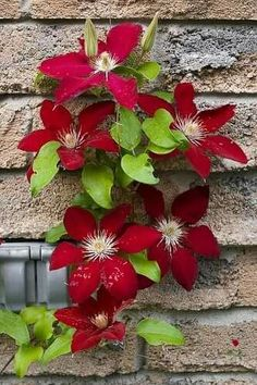 Clematis the bride white yellow long stamens 8 petals well drained neutral soil rate of growth average to fast growing flowering period june to september flower colour plum red hardiness mightylinksfo