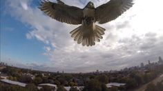 Christopher Schmidt was flying his quadcopter (drone) at the Magazine Beach Park in Cambridge, Massachussets and a hawk decided to attack it and . Gopro, Camera Drone, Cambridge, Beach Park, Air Drone, Flying Drones, Red Tailed Hawk, Spiegel Online, Drone Quadcopter