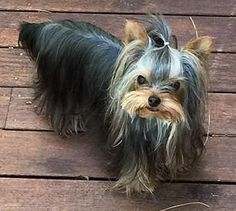 Polka Dot is an adoptable Yorkshire Terrier Yorkie Dog in Taunton, MA Meet Polka Dot a 1yo tiny female Yorkie who is just adorable. Polka Dot was born with a deformi ... ...Read more about me on @petfinder.com