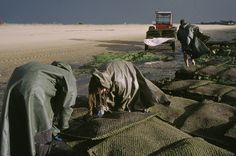 Yves Gellie - Collecting Oisters. Aquitaine and Poitou-Charentes. National Geographic Project, France, 2001.