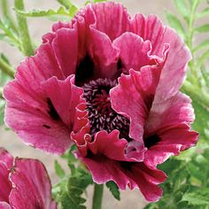 Free Photos of oriental poppies | Even the foliage lasts longer on this spectacular rebloomer!