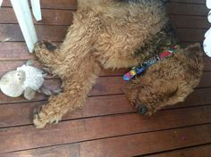Airedale Sleep Position # 14
