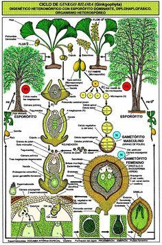 Ginkgo biloba-ciclo-fitoterapia El Ginkgo biloba previene la arterioesclerosis, la demencia, las varices o las jaquecas | ECOagricultor Biology Art, Biology Teacher, Science Biology, Life Science, Science And Nature, Fern Plant, Trees To Plant, Permaculture Design, Plant Science