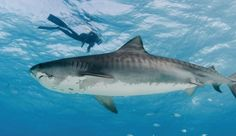 Shark-related dives in Florida generated more than $221 million in revenue and fuelled over 3700 jobs in 2016, according to a new report from Oceana. This compares to the total U.S. shark fin export market of just $1.03 million.  The demand for shark fins is one of the greatest threats facing shark populations around the world.