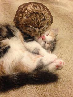 owl snuggling kitten