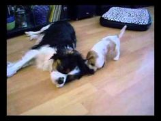 Cavalier King Charles Spaniel dogs playing