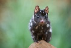 Forget a dog, I want a quoll!