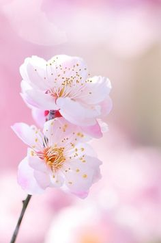 cherry blossom - one of my favorite spring flowers Sakura Cherry Blossom, Cherry Blossom Flowers, My Flower, White Flowers, Beautiful Flowers, Beautiful Things, Apple Blossoms, Colorful Roses, Blush Flowers