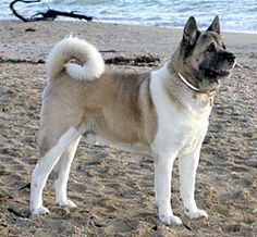 Akita Inu: Dog Breeds, Info and Pictures