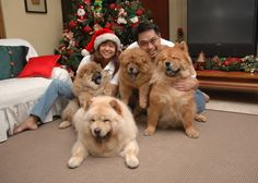 This breed of #dog has many strong loyal bonds with friends and family, however the Chow Chow dog is usually overly protective of one or two main family member(s). #chowchowdogs