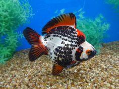 His coloring reminds me of Samarai armor. Goldfish Types, Goldfish Tank, Ryukin Goldfish, Aquarium Sharks, Aquarium Fish Tank, Colorful Fish, Tropical Fish, Koi, Exotic Fish