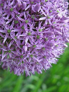 Alium #alium #flower #bulb #spring