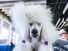 Abby the poodle at the Westminster dog show