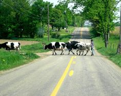 Cows crossing. Show some respect here!