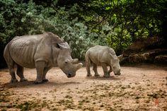 Photo White rhinoceros (Ceratotherium simum) by Jean-Claude Sch. on 500px