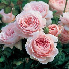 'Queen of Sweden' * - Austin (2004). Fleurit en continu de grosses roses au tendre coloris rose dragée qui résistent au grand soleil comme aux pluies. Demande très peu d'entretien.